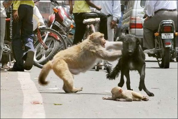 Stray Dog Attacking The Baby Monkey