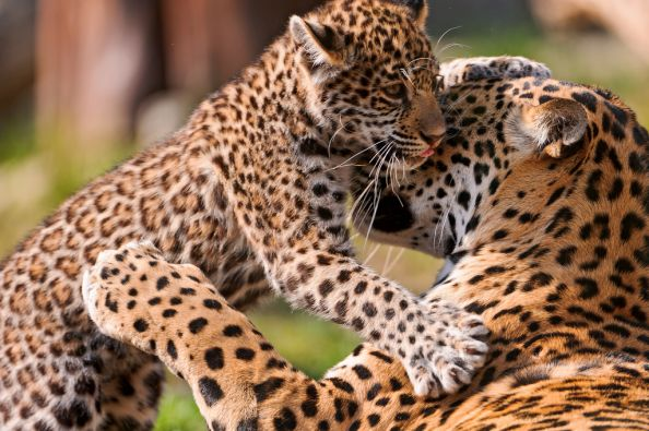 Mother Leopard Loving Her Baby