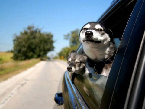 Dogs Sticking Their Head Out the Window