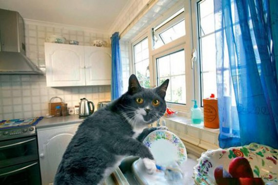 House Cat Washing The Dishes