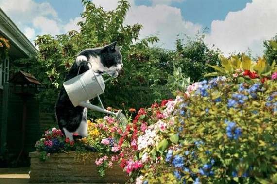 House Cat Watering The Flowers