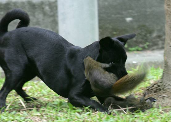 Mother Squirrel Attacking Dog