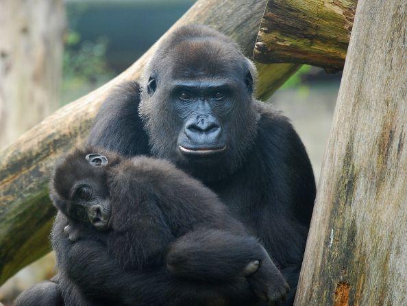 Mother Gorilla Tenderly Holding Baby