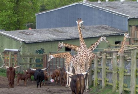 Picture At The Right Moment Giraffe